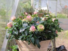 Jeg har været så heldig at få nogle planter af den nye, dansk forædlede potterose Infinity Evergreen fra Roses Forever. Den er helt speciel med sin kraftige statur og store blomster, der spiller i …
