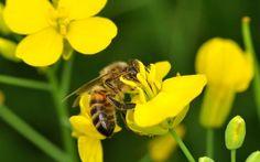 Las abejas prefieren néctar con pesticidas | Ciencia | EL PAÍS