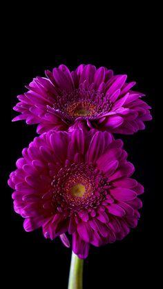 Gerbera Flower, Fuchsia Flower, Hd Wallpaper 4k, Flower Wallpaper, Hd Flowers, Beautiful Flowers, Cymbidium Orchids, Background Images, Floral