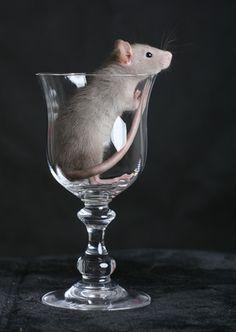 Výsledok vyhľadávania obrázkov pre dopyt rat and glass of wine