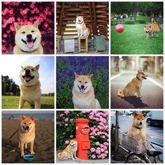 Conhece o Maru? Este cachorro super fofo está fazendo o maior sucesso no Instagram. @Shinjiro Ono   Amamos!