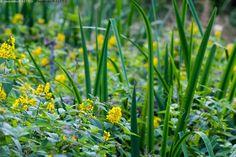 Ranta-alpi ja kurjenmiekka - Lysimachia vulgaris esikkokasvi kasvi keltainen kesä kosteikkolaji kukat kukka kurjenmiekka luhta luonnonkukat luonnonkukka luonnonvarainen ranta-alpi