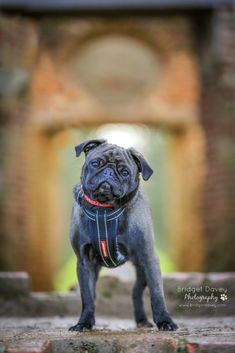 Adorable pug + amazing photographer + gorgeous English countryside = this! Check out these amazing photos of Troy by Bridget Davey Photography >>> http://www.thepugdiary.com/troy-pug-photography-by-bridget-davey-photography/