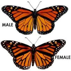 Illinois State Insect...Monarch Butterfly