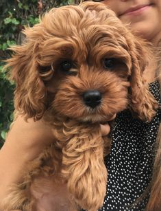 Baby Animals Super Cute, Cutest Animals, Cavapoo Full Grown, Cavapoo Dogs, Cute Dogs And Puppies, Cat Shirts, Future Baby, 3 Months, Ramadan
