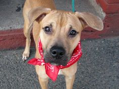 SUPER URGENT!! TO BE DESTROYED 3/15/14 Brooklyn Center -P  My name is DAISY. My Animal ID # is A0993417. I am a female tan and white pit bull mix. The shelter thinks I am about 1 YEAR   I came in the shelter as a OWNER SUR on 03/08/2014 from NY 11236, owner surrender reason stated was MOVE2PRIVA. I came in with Group/Litter #K14-170063. https://www.facebook.com/photo.php?fbid=770052759674272&set=a.611290788883804.1073741851.152876678058553&type=3&theater