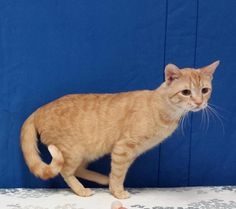 Meet+Harvey,+a+Petfinder+adoptable+Domestic+Short+Hair+Cat+|+Carthage,+NC+|+Meet+Harvey!Harvey+is+a+5+year+old+tabby+looking+for+a+loving+furever+home.++He+is+a+handsome+guy...