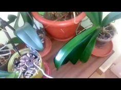 Cum obtinem o noua înflorire la orhidee