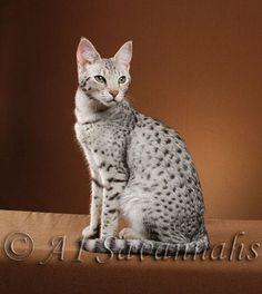 Savannah Cats.