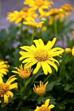 Euryops (a.k.a. Yellow Bush Daisy)