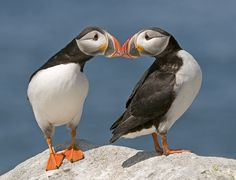 Smooching Puffins by Ronald Schaefer.