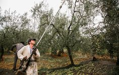 Olive farmers gather olives from Italy!