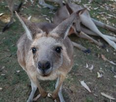 Lone Pine Koala Sanctuary: You looking at me? #Brisbane #Australia http://www.tripadvisor.com.au/ShowForum-g255068-i461-Brisbane_Queensland.html