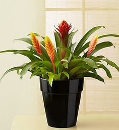 Red Flame bromeliad with yellow Vriesea