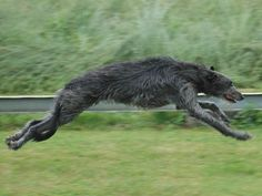 scottish deerhound…