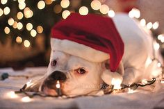 There is a cute boxer who would make this picture perfect. Boxer Breed, Boxer Bulldog, Boxer And Baby, Boxer Love, Christmas Animals, Christmas Dog, Christmas Holidays, Christmas Cards, Merry Christmas