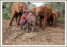 Losoito well looked after by the other orphans RIP beautiful boy whose whole family poached in Tsavo West Adopt An Elephant, Us Regions, Sheldrick Wildlife Trust, Save The Elephants, Extinct, Endangered Species, Orphan, Boys Who, Beautiful Boys