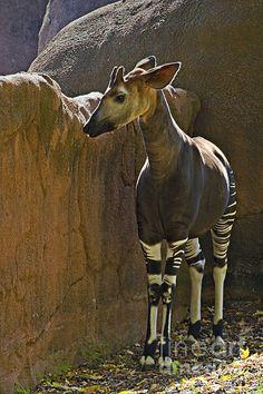 Okapi - Walter Herrit by Walter Herrit Bizarre Animals, Unique Animals, All Animals Photos, Animal Pictures, Baby Animals, Cute Animals, African Antelope, Okapi, Most Beautiful Animals