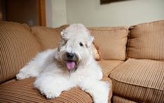 Everything you want to know about Soft Coated Wheaten Terriers, including grooming, training, health problems, history, adoption, finding good breeders, and more.
