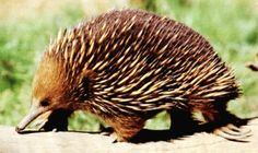 Our Echidna - a monotreme - one of only 2 species of monotreme in Australia