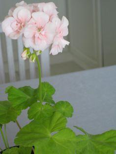 #blomma, pelargon, mårbacka
