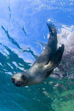 Perritos de León de Mar - Los Islotes, Baja California Sur