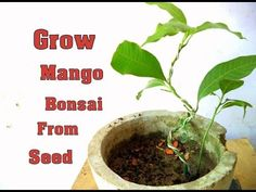 How to Grow Mango Bonsai From Seed - Part 2  | Wiring  | Bonsai tips & C...