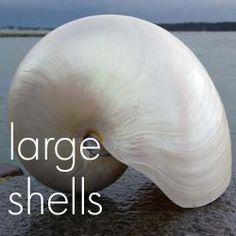 Ornamental Large Seashells