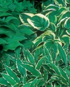 The thin, subtly variegated foliage of 'Stilletto' and the solid green of 'Nagaeto' echo the colors of 'Wide Brim'.