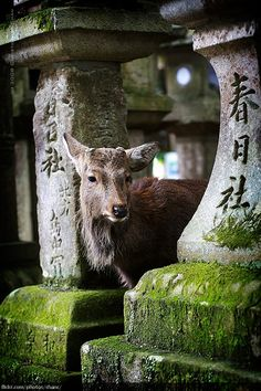 What a peaceful photo of nature. Not sure what the beautiful animal is?? Kasuga Shrine, Nara (#30)