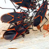 Here& how to rid your home of swarming boxelder bugs and prevent them from returning using least-toxic and natural controls. Best Pest Control, Bug Control, Types Of Insects, Bugs And Insects, Box Elder Bugs, Bug Trap, Household Pests, Household Tips, Stink Bugs
