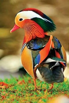 Un canard mandarin Colorful Animals, Colorful Birds, Nature Animals, Animals And Pets, Baby Animals, Cute Animals, Exotic Animals, Pretty Animals, Tropical Birds