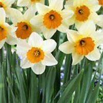 Bluestone Perennials Daffodil Sempre Avanti Value Pack -- Bluestone Perennials In fall, plant bulbs in deep, fertile, well-drained soil in full sun to light shade. Plant 6 apart and 8 deep in groups of or more. Daffodils Planting, Planting Bulbs, Tulips, Beautiful Gardens, Beautiful Flowers, Daffodil Bulbs, Daffodil Flowers, Yellow Flowers, Orange Cups