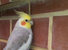 """awww little cockatiel - """" Might As Well Talk To The Wall """""""
