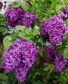 View picture of Common Lilac, French Lilac 'Monge' (Syringa vulgaris) at Dave's Garden.  All pictures are contributed by our community.