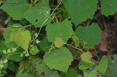 Ampelopsis glandulosa hancei