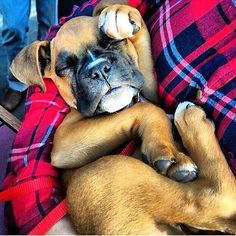 All twisted up #boxer #boxers #boxerdog #boxerdogs #boxerpuppy #boxerpuppies #adorable #cute #puppy #puppies #dog #dogs #animal #animals #pet #pets #happy #adorable #love #smile #boxerclub #boxeraddict #iloveboxers #baby #babies #boxersofinstagram