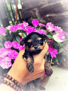 7 Best Teacup Yorkies For Sale Images Yorkies For Sale Teacup Yorkie For Sale Yorkie