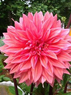 The beautiful dahlia flower for your garden!