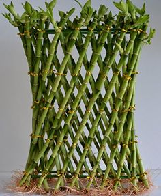 Lucky Bamboo Fishing Net Design tall and by in width from JM Bamboo Indoor Garden, Indoor Plants, Lucky Bamboo Plants, Aquatic Plants, Bulbs, Fishing, Gardening, Design, House