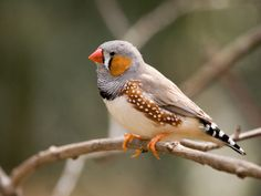 Zebra finch really are the best pets