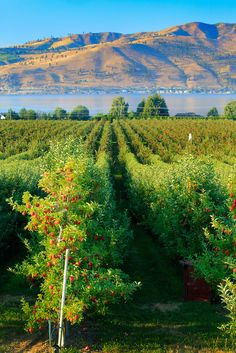 Beautiful Apple orchard | in Chelan in eastern Washington state, along the shore of Lake Chelan