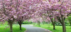 Cherry tree lined driveway beautiful ! Cherry Blossom Tree, Blossom Trees, Cherry Tree, Tree Lined Driveway, Driveway Entrance, Flowering Trees, Trees And Shrubs, Blossom Garden, Driveway Landscaping