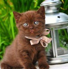 chocolate kitty