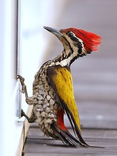 fairy-wren:    common flameback unhappy with his reflection(photo by wokoti)