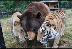 lion, tiger, and bear; great story of these three animals who were rescued together from a drug dealers house