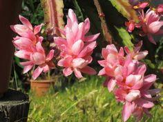 A flor de maio tem seu período de florescimento no outono.