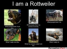 I am a Rottweiler... - What people think I do, what I really do - Perception Vs Fact...yea..the bottom 3 are my rottie to a T!!