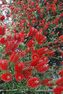 San Diego Master Gardeners -Good Bets for Hedges to Replace Dying Oleanders Euphorbia Milii, Crassula Ovata, Elephant Food, Pencil Trees, Santa Barbara County, Jade Plants, Red Berries, Hedges, Yellow Flowers