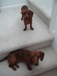 Puppies on the stairs by Sarah P dot, via Flickr #doxie #cute #dachshund